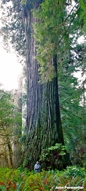 "Man standing next to the tree dubbed the ""Del Norte Titan"" in Jedediah Smith redwoods State Park"