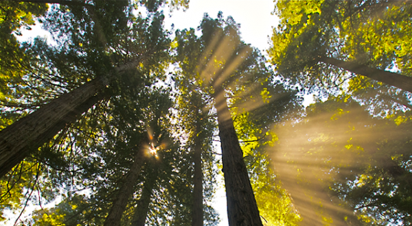 Sunlight filtering through the Redwoods
