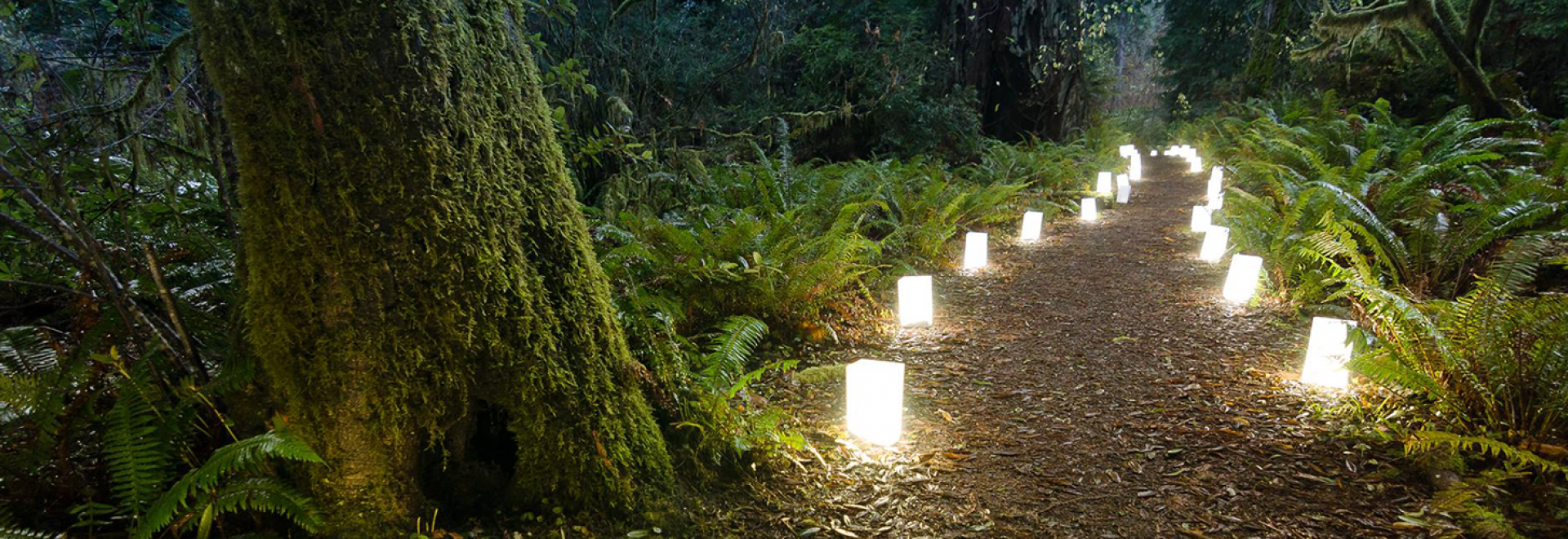 Luminaries lighting the trail during the Candlelight Walk at Prairie Creek Redwoods