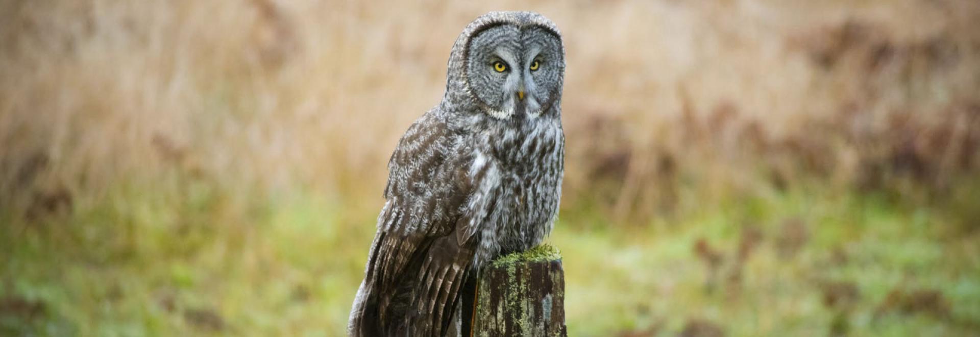 Great Grey owl visiting Prairie Creek Redwoods State Park
