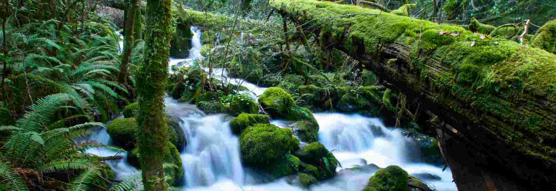 Moss growing over a fallen log and rocks covered with moss in the middle of a flowing stream