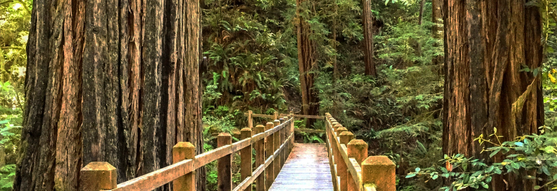 Boardwalk through the redwoods